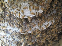 Bienen (nach 2 Wochen) (5)