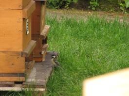 Mhh lecker, bei den Nachbarbeuten freut sich die Meise über die toten Bienen.